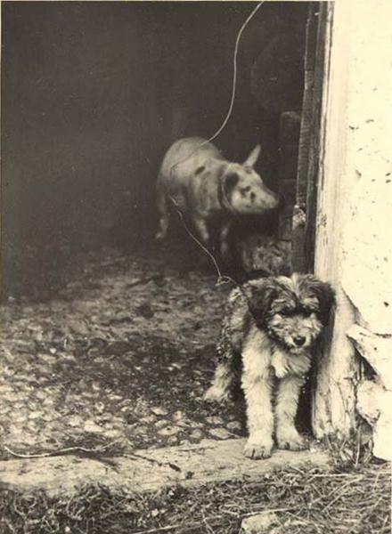 ap-cane-maiale-stalla-pasturo-1937
